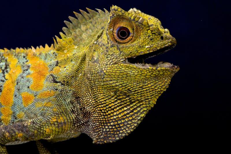 Σαύρα Humphead Javan (chamaeleontinus Gonocephalus) στοκ εικόνες