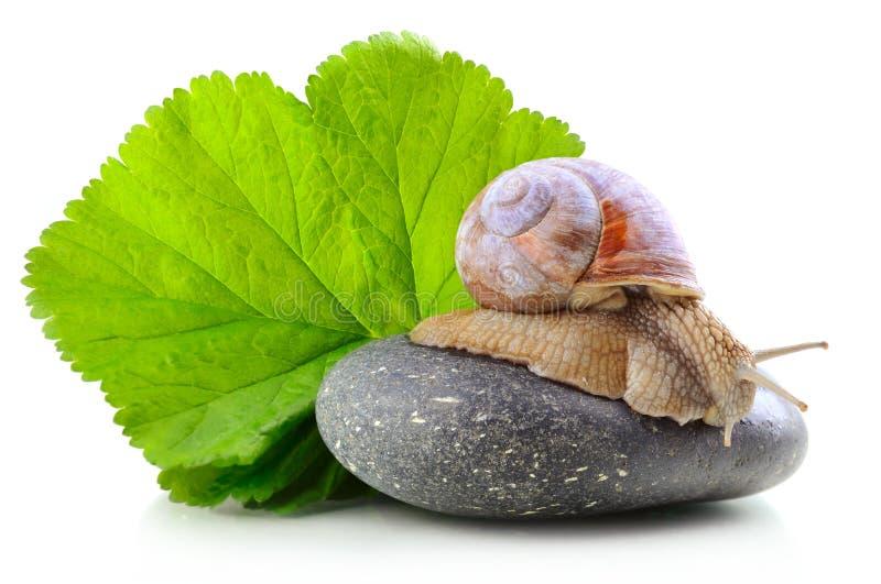 Σαλιγκάρι στην πέτρα στοκ εικόνες με δικαίωμα ελεύθερης χρήσης