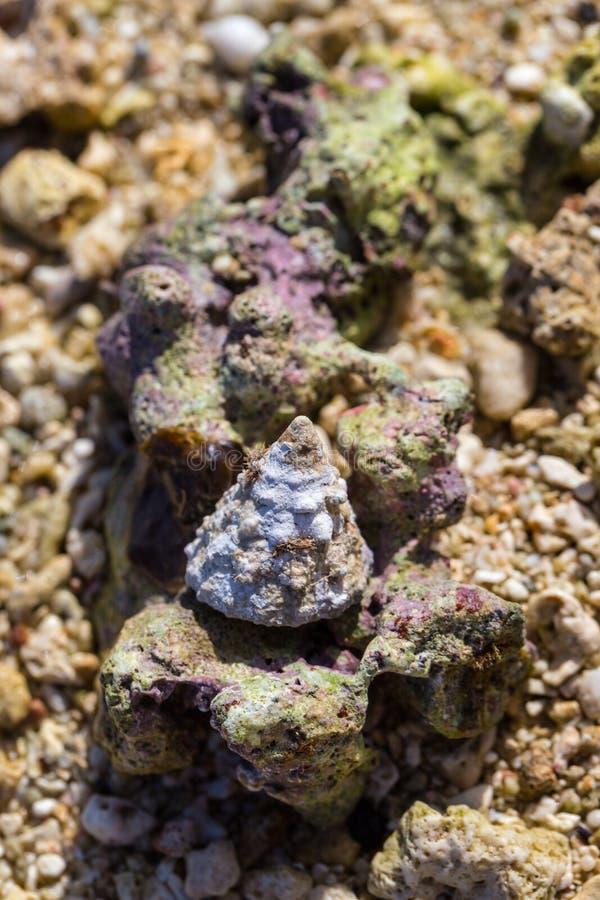 Σαλιγκάρι στο κοράλλι από LE Morne Μαυρίκιος at low tide στοκ φωτογραφία