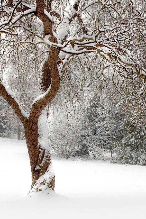 σγουρό δέντρο χιονιού στοκ φωτογραφία με δικαίωμα ελεύθερης χρήσης