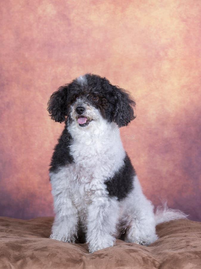 Σγουρό μαλλιαρό σκυλί σε ένα στούντιο στοκ εικόνες