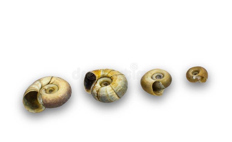 Σαλιγκάρια κέρατων κριών στοκ φωτογραφίες