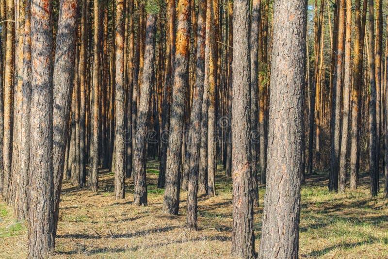 σειρά των ψηλών λεπτών κορμών πεύκων στο δάσος στοκ εικόνες