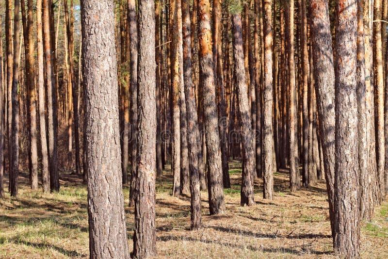 σειρά των ψηλών λεπτών κορμών πεύκων στο δάσος στοκ φωτογραφία με δικαίωμα ελεύθερης χρήσης