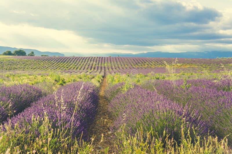 Σειρές ανθίζοντας lavender στην Προβηγκία, Γαλλία στοκ εικόνες με δικαίωμα ελεύθερης χρήσης