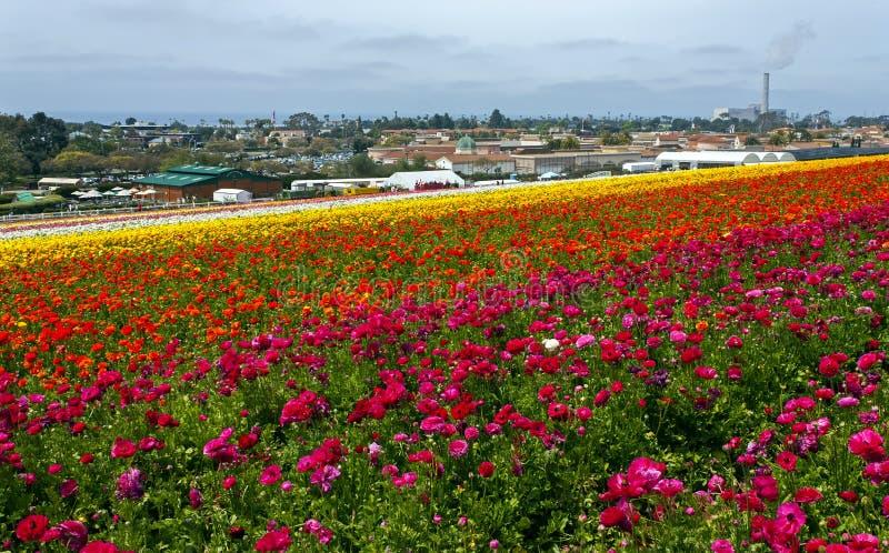 Σειρές πολύχρωμων λουλουδιών αναπτύσσονται στο Carlsbad στοκ εικόνες