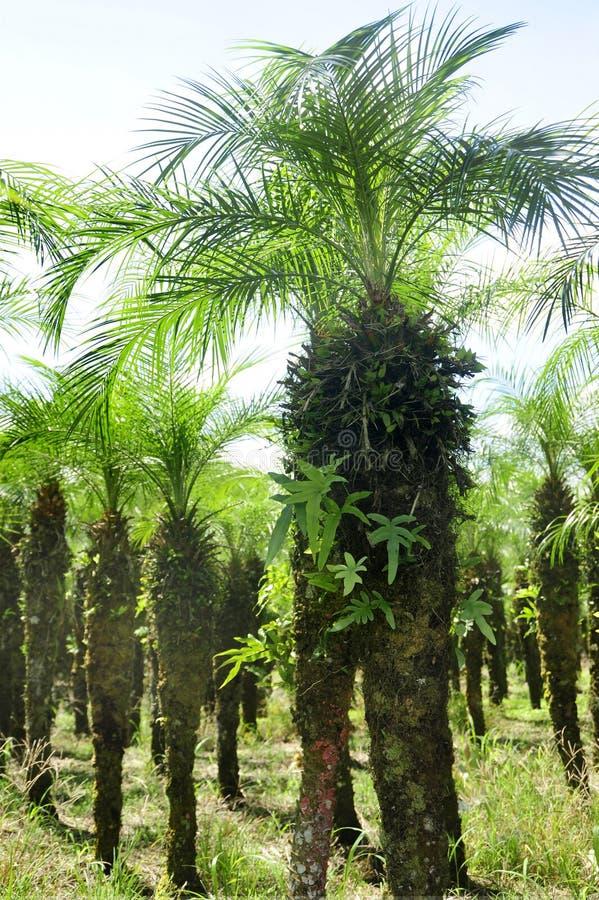 Σειρές της αγροτικής γης γραμμών φοινίκων στη Κόστα Ρίκα στοκ εικόνα με δικαίωμα ελεύθερης χρήσης