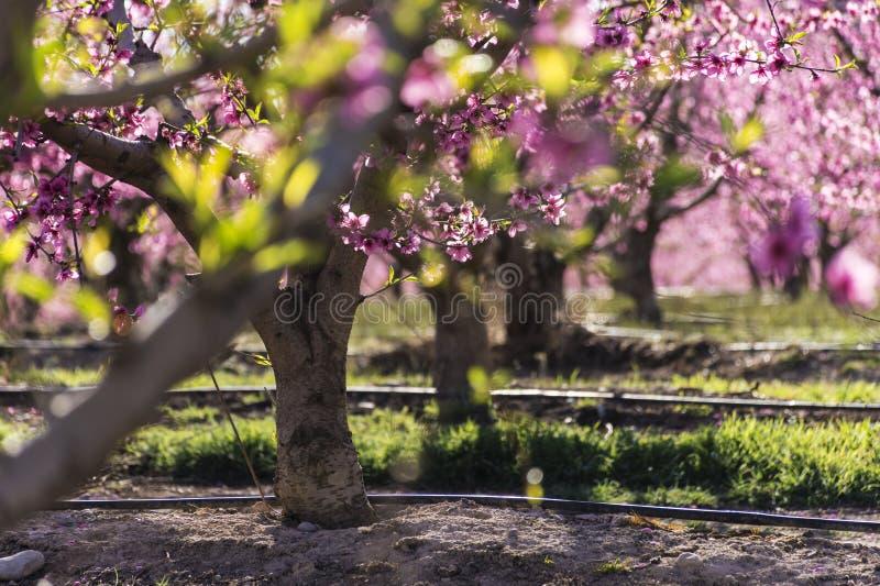 Σειρές του δέντρου ροδακινιών στην άνθιση, με τα ρόδινα λουλούδια στην ανατολή Aitona alcarras, Torres de Segre Γεωργία στοκ φωτογραφία
