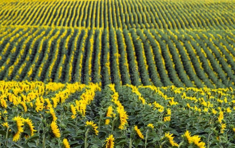 Σειρές των ηλίανθων στον τομέα τοπίο γεωργίας Εκλεκτική εστίαση στοκ φωτογραφία με δικαίωμα ελεύθερης χρήσης