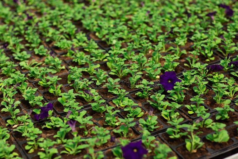 Σειρές των λουλουδιών πετουνιών στα δοχεία, που αυξάνονται σε ένα θερμοκήπιο Οι εγκαταστάσεις είναι έτοιμες για την εξαγωγή στοκ εικόνες