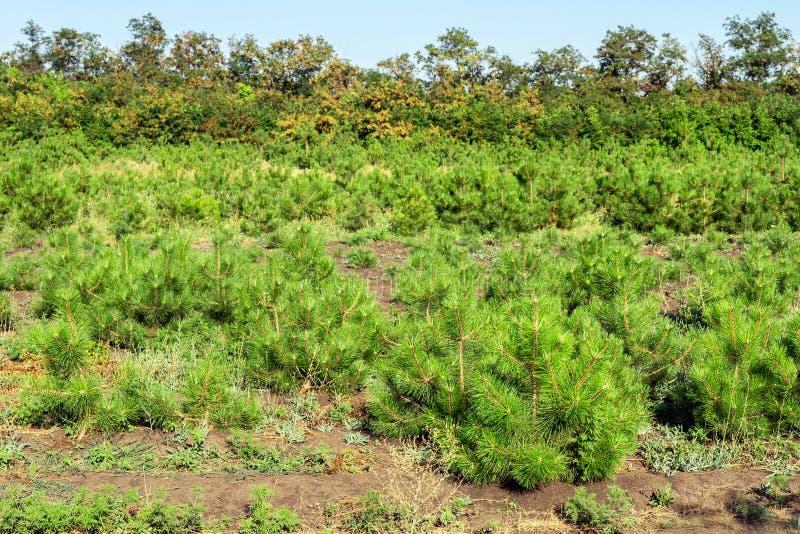 Σειρές των μικρών φωτεινών δέντρων πεύκων στον κωνοφόρο κήπο βρεφικών σταθμών Ανάπτυξη των νέων κωνοφόρων στην υπαίθρια φυτεία κη στοκ εικόνα