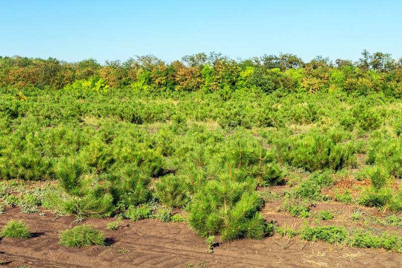Σειρές των μικρών φωτεινών δέντρων πεύκων στον κωνοφόρο κήπο βρεφικών σταθμών Ανάπτυξη των νέων κωνοφόρων στην υπαίθρια φυτεία κη στοκ εικόνες με δικαίωμα ελεύθερης χρήσης