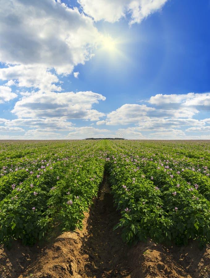 Σειρές των πατατών σε ένα αγρόκτημα πατατών στοκ εικόνες