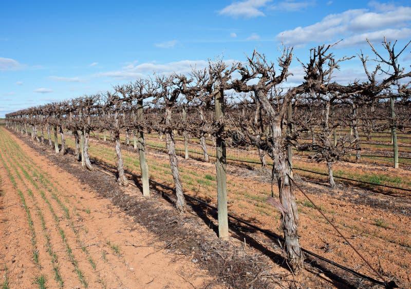Σειρές των προστατευμένων Chardonnay αμπέλων στοκ εικόνες