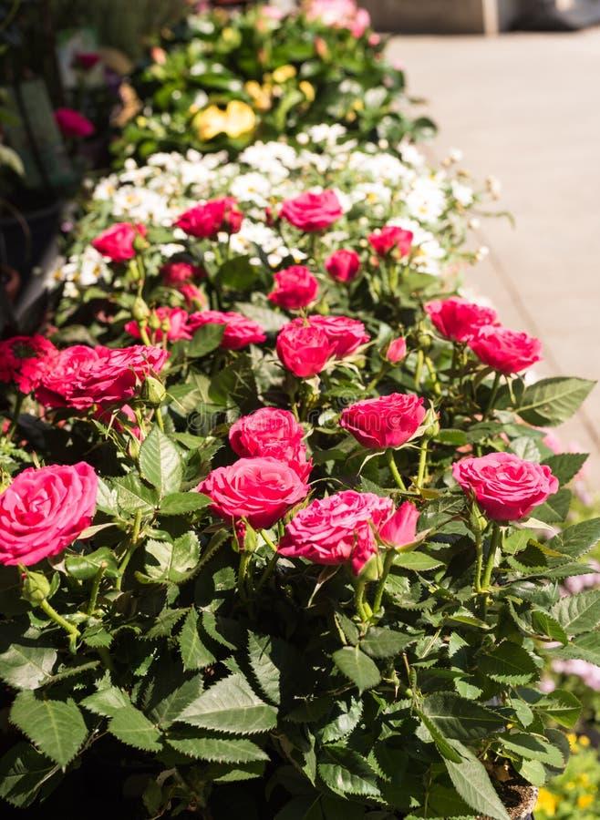 Σειρές των σε δοχείο ρόδινων τριαντάφυλλων και των λουλουδιών στον ήλιο - διάστημα αντιγράφων στοκ φωτογραφία