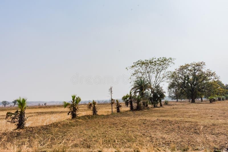 Σειρές των φοινίκων κοντά στο αγροτικό κοίταγμα ορυζώνα τρομερό στην ηλιόλουστη ημέρα στοκ εικόνα με δικαίωμα ελεύθερης χρήσης