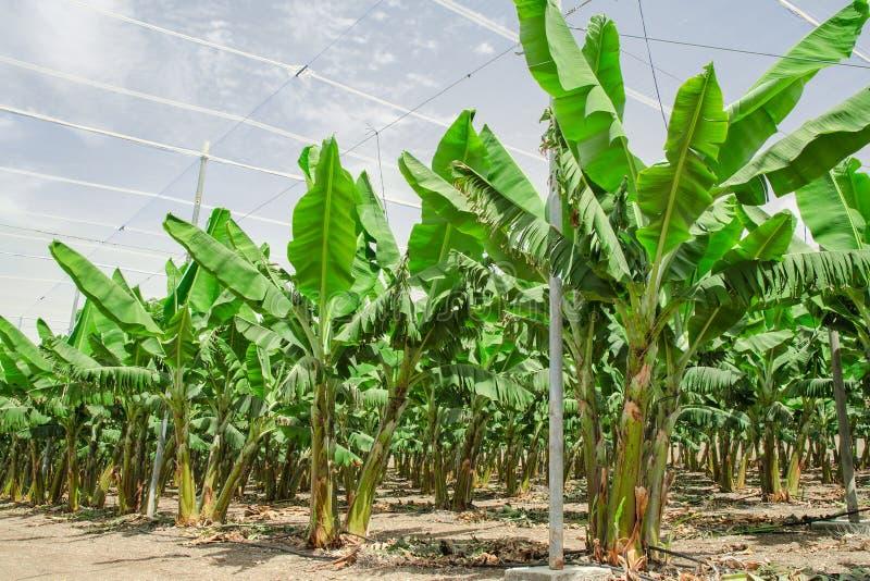 Σειρές φοινίκων μπανανών στον καλλιεργημένο οπωρώνα φρούτων στοκ φωτογραφίες