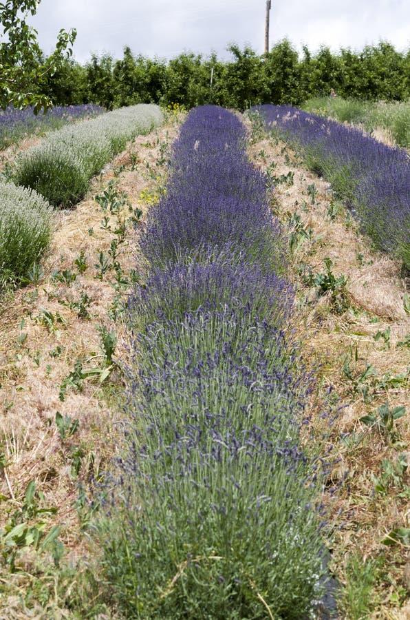 Σειρές lavender των εγκαταστάσεων στην άνθιση στοκ φωτογραφία με δικαίωμα ελεύθερης χρήσης