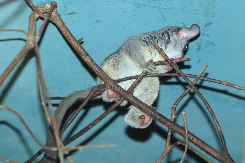 Σενεγάλη bushbaby στοκ φωτογραφίες