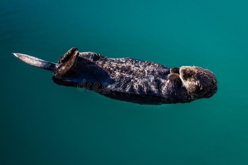 2 Σεπτεμβρίου 2016 - μια ενυδρίδα θάλασσας επιπλέει στην πλάτη της, Seward albedo στοκ φωτογραφίες με δικαίωμα ελεύθερης χρήσης