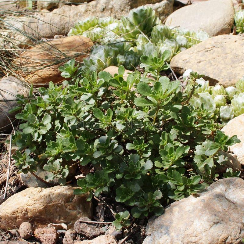 Σερνμένος φύλλωμα sedum kamtschaticum Sedum στοκ εικόνα