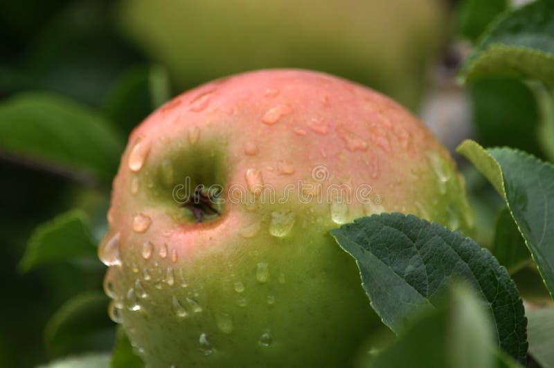 Σε έναν κλάδο ενός δέντρου είναι πράσινος-ρόδινα μήλα στοκ φωτογραφία