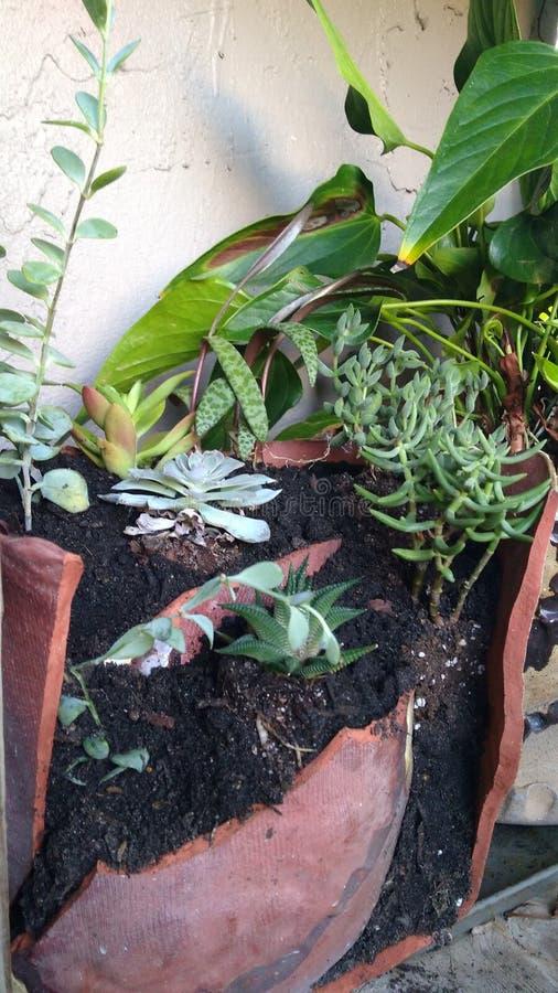 Σε δοχείο κήπος με τα succulents στοκ εικόνα