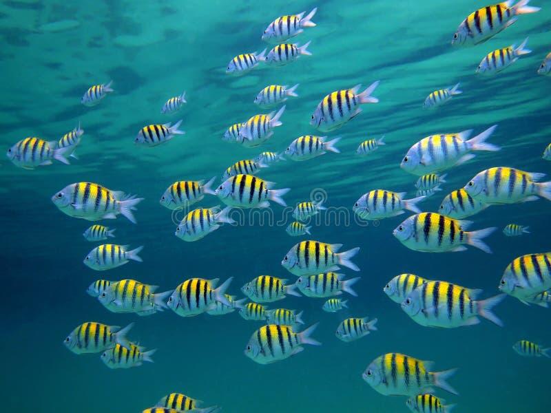 σημαντικός λοχίας ψαριών στοκ φωτογραφίες με δικαίωμα ελεύθερης χρήσης