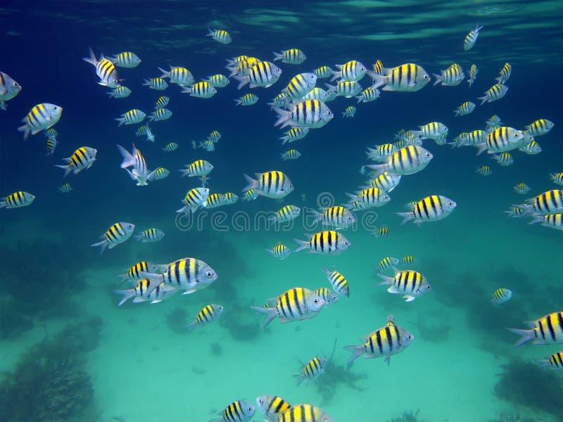 σημαντικός σχολικός λοχίας ψαριών στοκ εικόνες με δικαίωμα ελεύθερης χρήσης