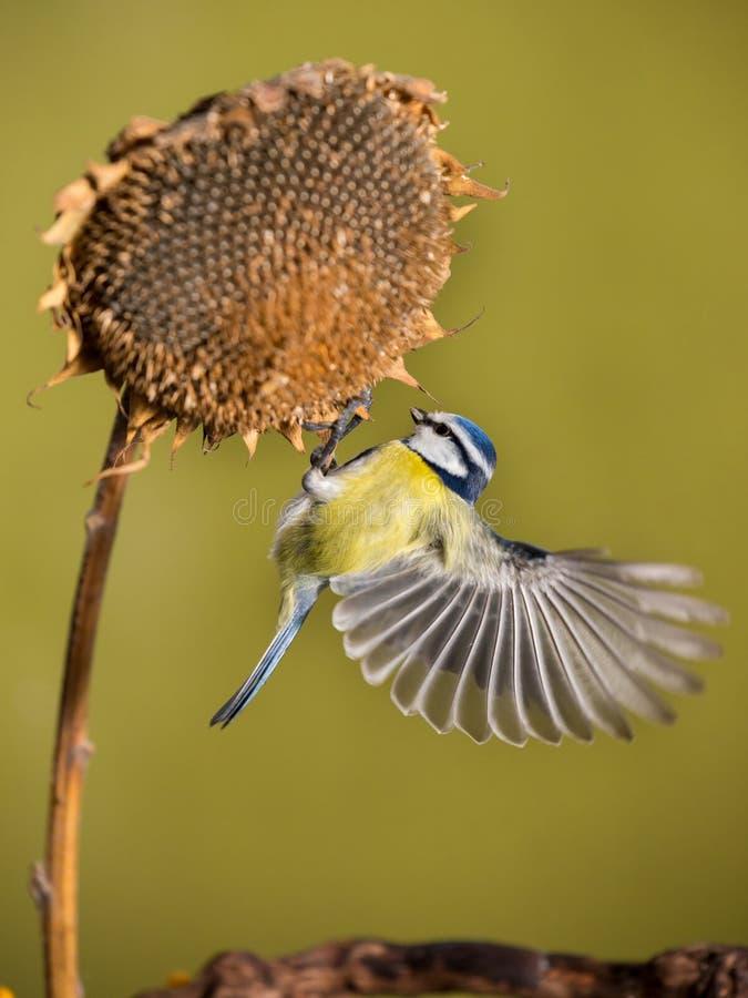 Σημαντικό, μπλε tit Parus Ένα μικρό πουλί κάθεται σε εγκαταστάσεις ηλίανθων και ταΐζει τους σπόρους ηλίανθων στοκ εικόνες