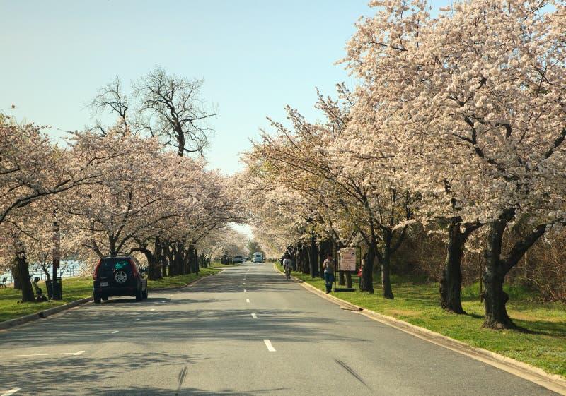 Σημείο Washington DC Hains που ευθυγραμμίζεται με τα δέντρα κερασιών στοκ εικόνες