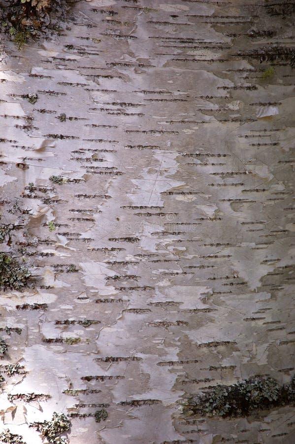 σημύδα φλοιών στοκ εικόνες