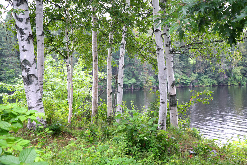 σημύδα riverview στοκ φωτογραφία με δικαίωμα ελεύθερης χρήσης