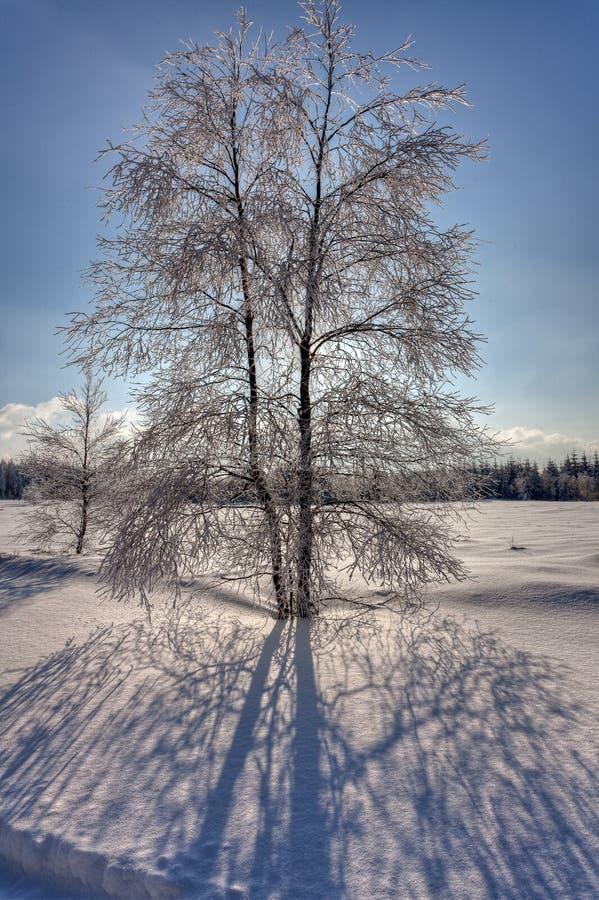 Σημύδα σκιών χειμερινού χιονιού backlight, υψηλοί βάλτοι, Βέλγιο στοκ εικόνα