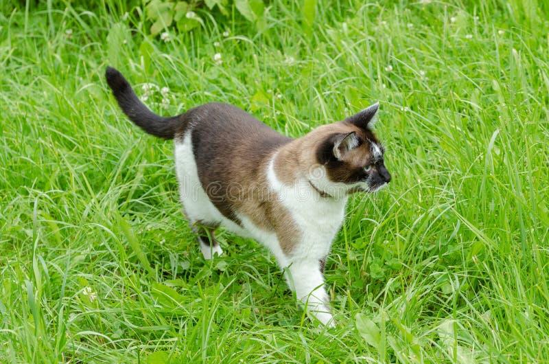 Σιαμέζα γάτα στο κυνήγι στοκ εικόνα