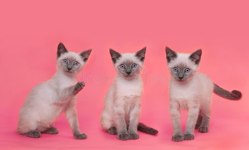 Σιαμέζα γατάκια στο φωτεινό ζωηρόχρωμο υπόβαθρο στοκ εικόνες