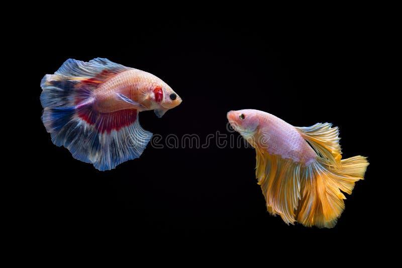 Σιαμέζα μάχη ψαριών πάλης ή ψαριών betta ημισελήνου στο σκοτεινό υπόβαθρο στοκ φωτογραφία