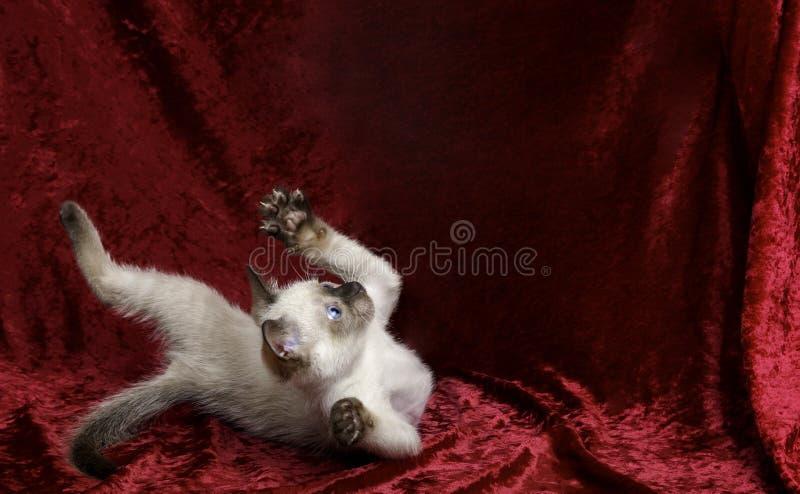 Σιαμέζα πτώση γατακιών που κοιτάζει στο διάστημα αντιγράφων ανωτέρω στοκ φωτογραφία με δικαίωμα ελεύθερης χρήσης
