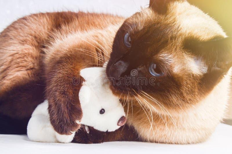 Σιαμέζα ταϊλανδικά παιχνίδια γατών με μια teddy αρκούδα Νύχια, δόντια, επιθετικότητα στοκ εικόνα