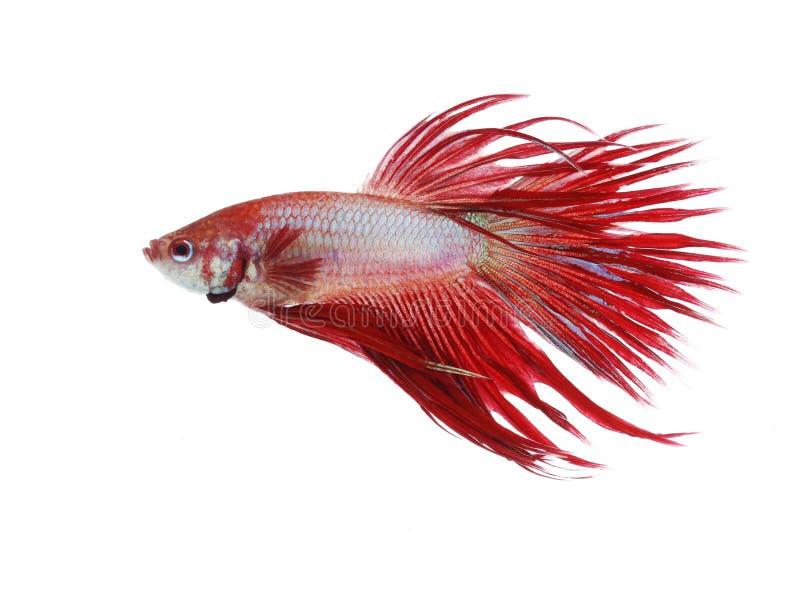 Σιαμέζα ψάρια πάλης, ουρά κορωνών στοκ φωτογραφία με δικαίωμα ελεύθερης χρήσης