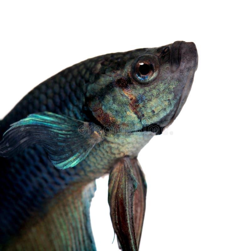 σιαμέζα splendens ψαριών πάλης betta μπλ&ep στοκ φωτογραφία
