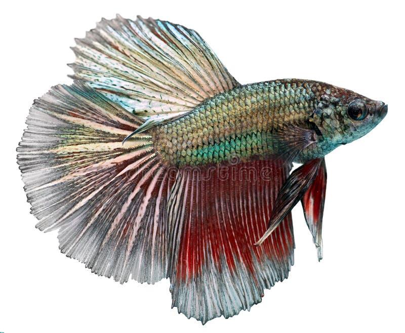 σιαμέζα splendens ψαριών πάλης betta στοκ εικόνες με δικαίωμα ελεύθερης χρήσης