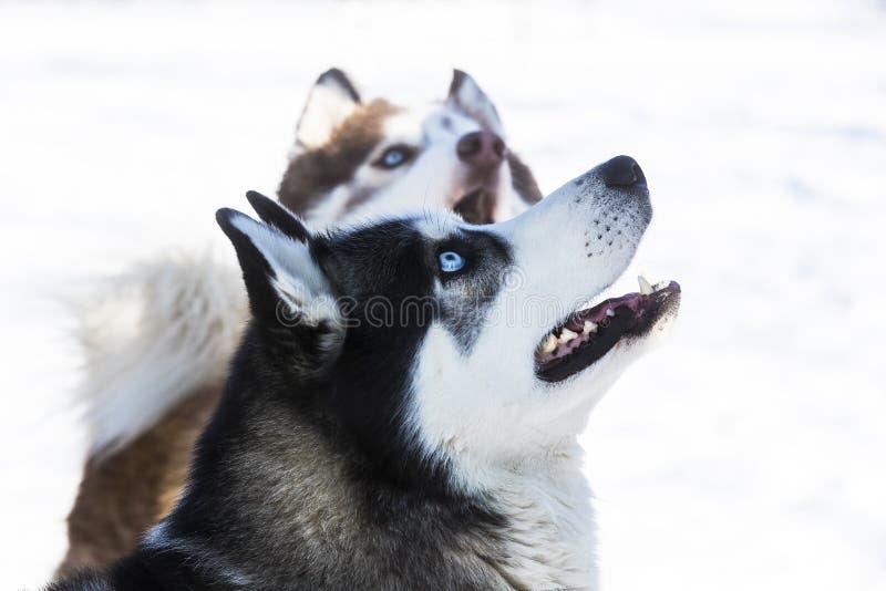 Σιβηρικά γεροδεμένα σκυλιά για έναν περίπατο στοκ εικόνες