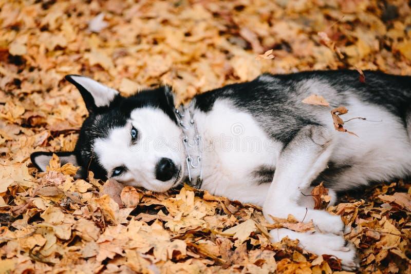 Σιβηρικά γεροδεμένα ψέματα στα φύλλα φθινοπώρου στοκ φωτογραφία με δικαίωμα ελεύθερης χρήσης