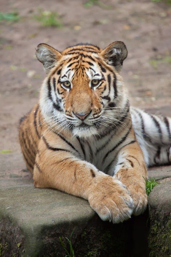Σιβηρικά τίγρη & x28 Panthera Τίγρης altaica& x29  στοκ εικόνα