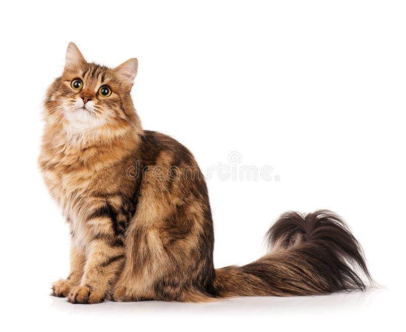 Σιβηρική γάτα στοκ φωτογραφία