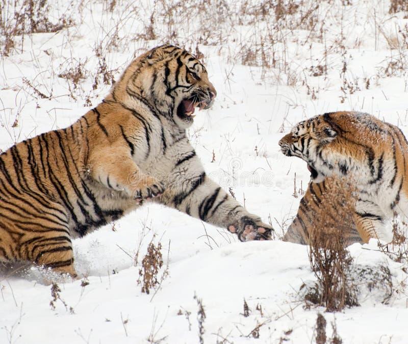 σιβηρική τίγρη ζευγών στοκ εικόνα με δικαίωμα ελεύθερης χρήσης