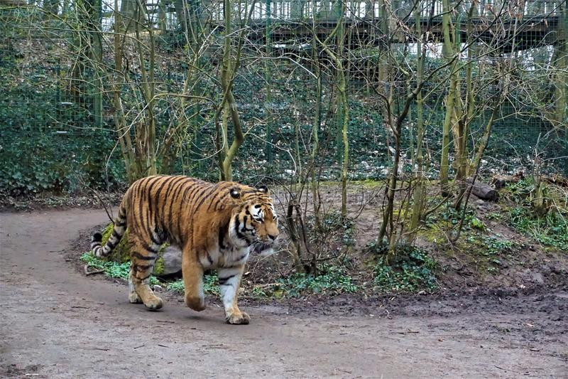 Σιβηρική τίγρη που περπατά μέσω του δάσους στοκ εικόνες