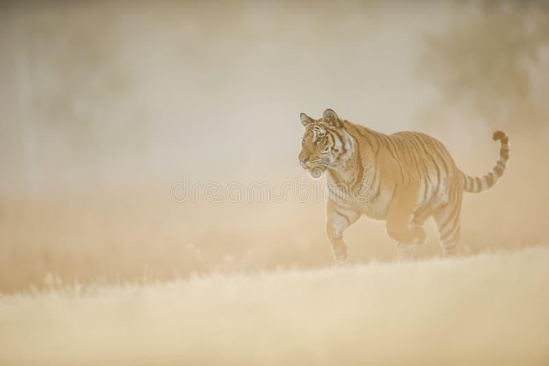 Σιβηρική τίγρη που τρέχει στο κρεμώδες φως ήλιων πρωινού Επικίνδυνη ζωική, σιβηρική τίγρη, altaica Panthera Τίγρης στοκ εικόνα με δικαίωμα ελεύθερης χρήσης