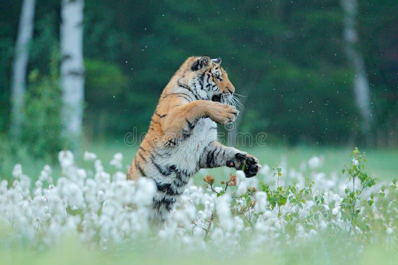Σιβηρική τίγρη στο δασικό βιότοπο φύσης, ομιχλώδες πρωί Κυνήγι τιγρών Amur στην πράσινη χλόη Επικίνδυνο ζώο, taiga, Ρωσία Μεγάλο  στοκ φωτογραφία